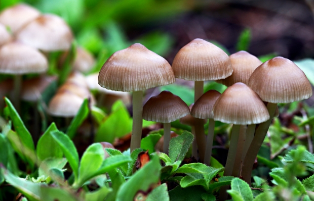 Lingzhi mushrooms combat aging, disease and even cancer