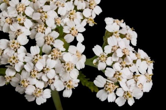 Yarrow-Herb